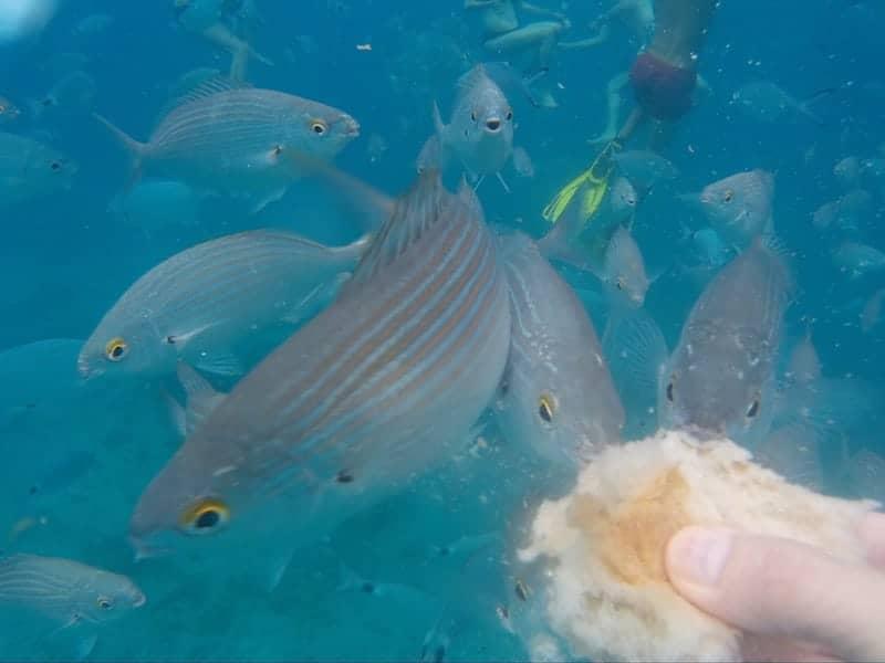 Füttern Sie den Fisch während der Bootsfahrt width=