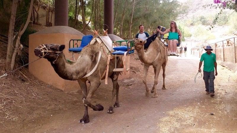 Paseo a camello por Oasis Park