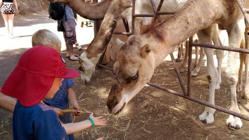 Children feeding the camels in the zoo