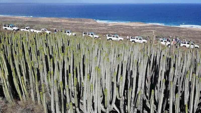 Cardones in the south of Fuerteventura