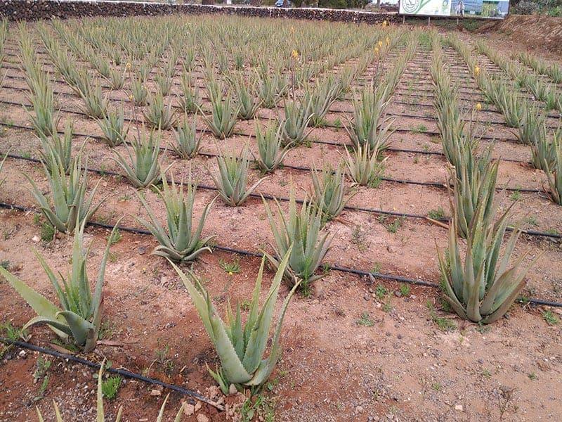 Anbau von Aloe Vera
