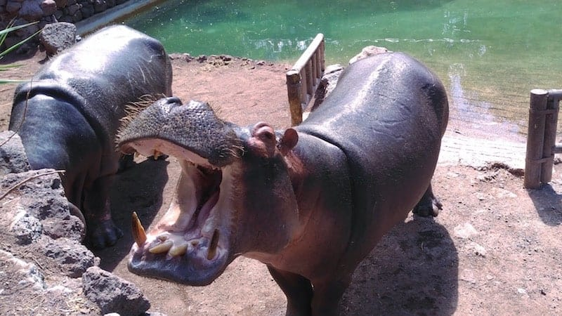 Hippos at the Fuerteventura zoo