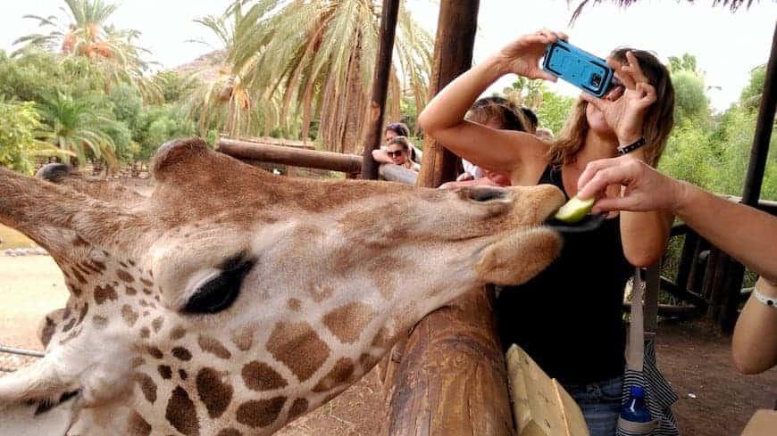 Besucher füttern eine Giraffe